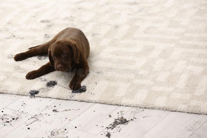 Śliczny pies opuszcza błotnistych łapa druki zdjęcia stock
