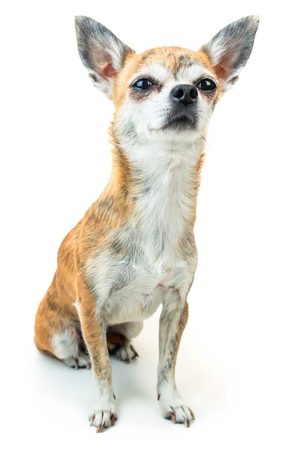 Śliczny pies siedzi attentively i słucha Karłowaty chihuahua pies na odosobnionym tle zdjęcia royalty free