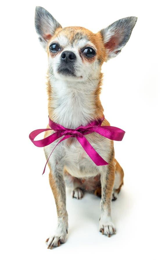 Śliczny pies siedzi attentively i słucha Karłowaty chihuahua pies na odosobnionym tle zdjęcia stock