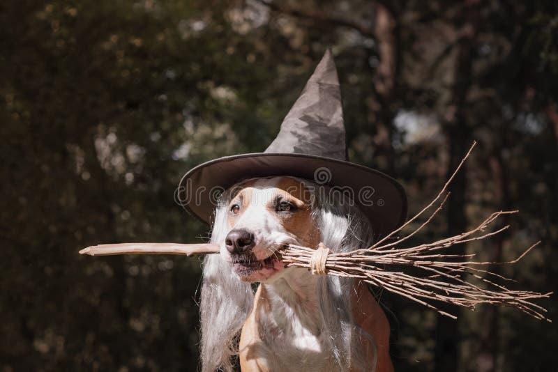 Śliczny pies w czarownicy mienia kapeluszowym broomstick piękny portret zdjęcia stock