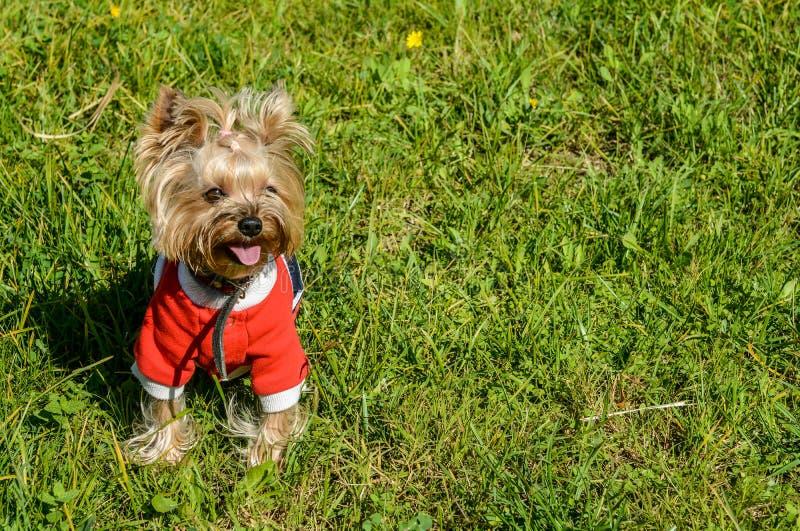 Śliczny pies w eleganckim stroju i ostrzyżeniu fotografia royalty free
