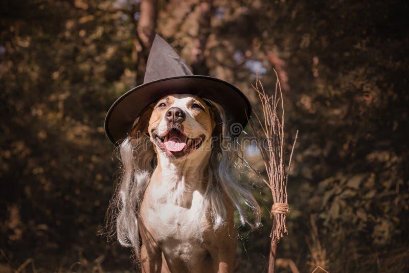 Śliczny pies z broomstick ubierał up dla Halloween jako życzliwy fo fotografia stock
