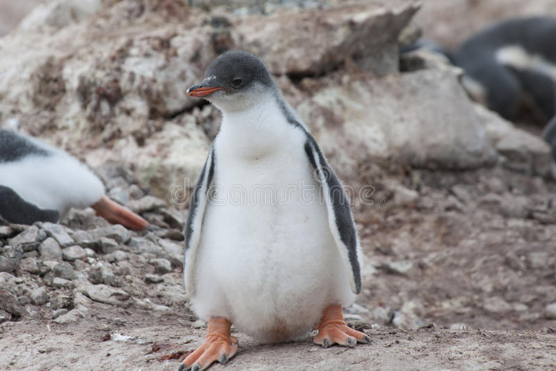 Śliczny pingwinu dziecko zdjęcia stock