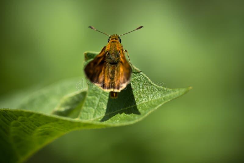 Śliczny pomarańczowy motyl na liściu na zielonym tle obrazy royalty free