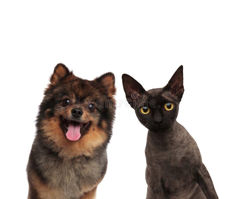 Śliczny pomeranian pies i czarny kot patrzeje ciekawy obrazy stock