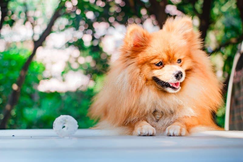 Śliczny pomeranian pies, szczeniak obrazy stock