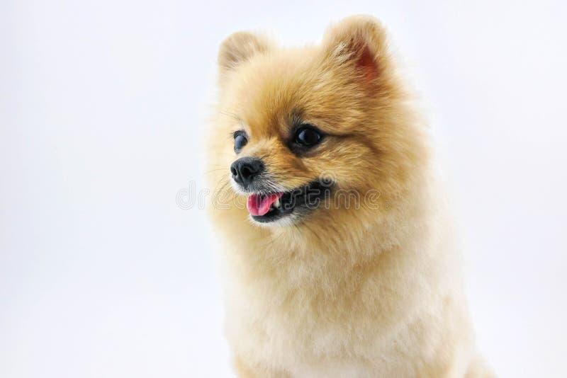 Śliczny pomeranian psi ono uśmiecha się zdjęcie royalty free
