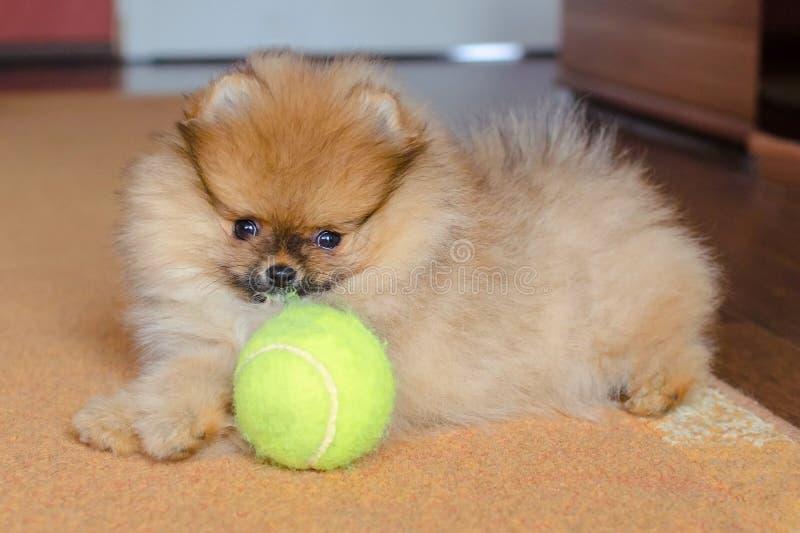 Śliczny pomeranian szczeniak, mały pies z piłką w domu zdjęcia royalty free