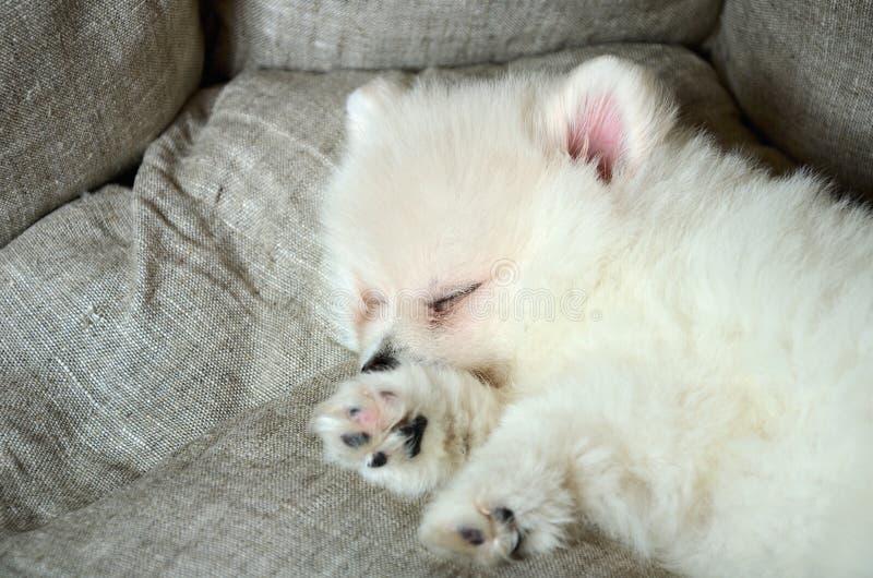 Śliczny pomeranian szczeniaka dosypianie w łóżku obraz royalty free