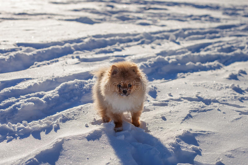 Śliczny Pomorski szczeniak na spacerze w śniegu na zima dniu obraz royalty free