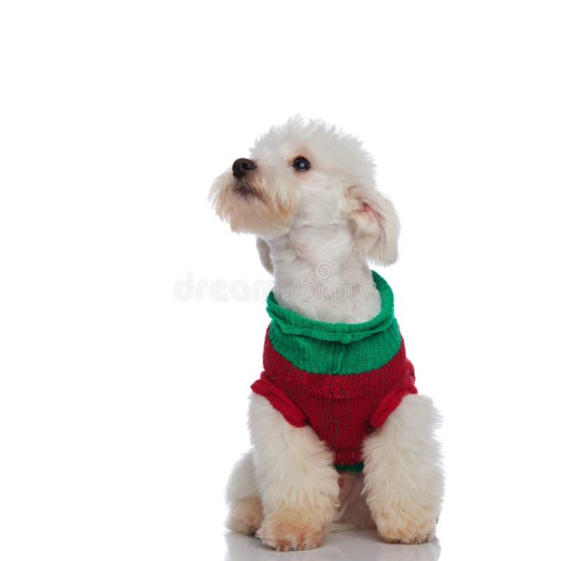 Śliczny posadzony bichon jest ubranym pulower patrzeje do strony zdjęcia royalty free