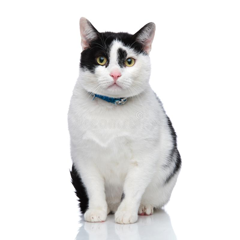 Śliczny posadzony kot jest ubranym błękitnego kołnierz obraz royalty free