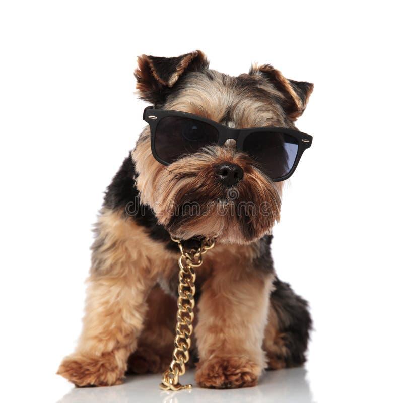 Śliczny posadzony yorkie jest ubranym złocistą kolię i okulary przeciwsłonecznych zdjęcie royalty free