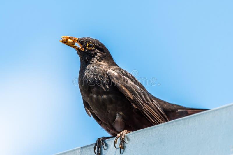 Śliczny pospolity kosa obsiadanie na dachu z jedzeniem w belfrze zdjęcia royalty free