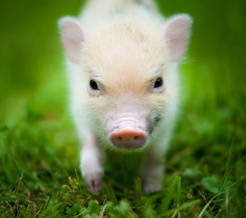 Śliczny prosiaczek mini świnia obrazy stock