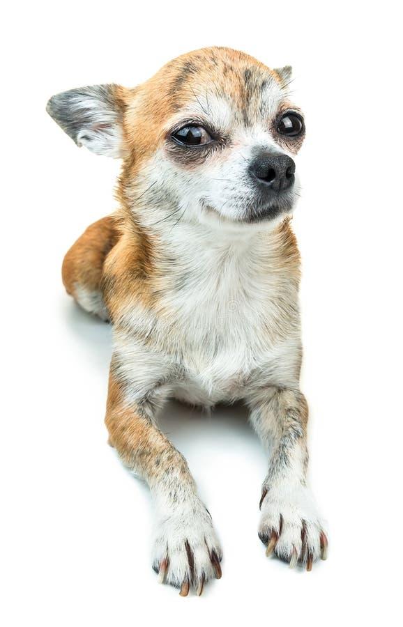 Śliczny psi łgarski puszek i ono uśmiecha się Karłowaty chihuahua pies na odosobnionym tle obraz stock