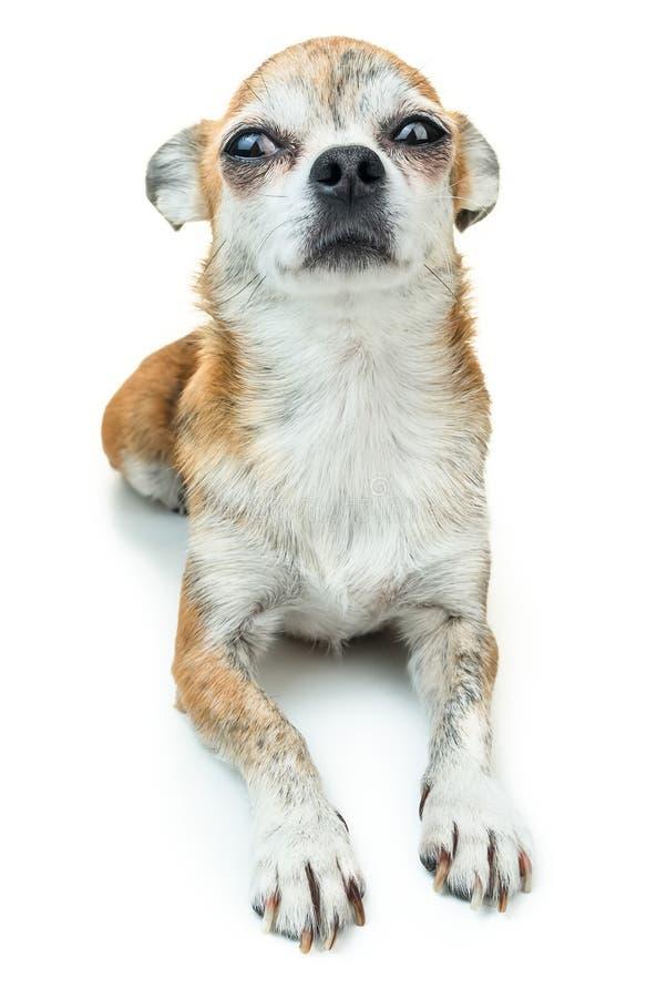 Śliczny psi łgarski puszek i ono uśmiecha się Karłowaty chihuahua pies na odosobnionym tle zdjęcie royalty free