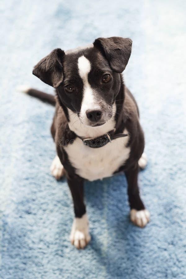 Śliczny Psi czarny biel z błękitnym tłem fotografia stock