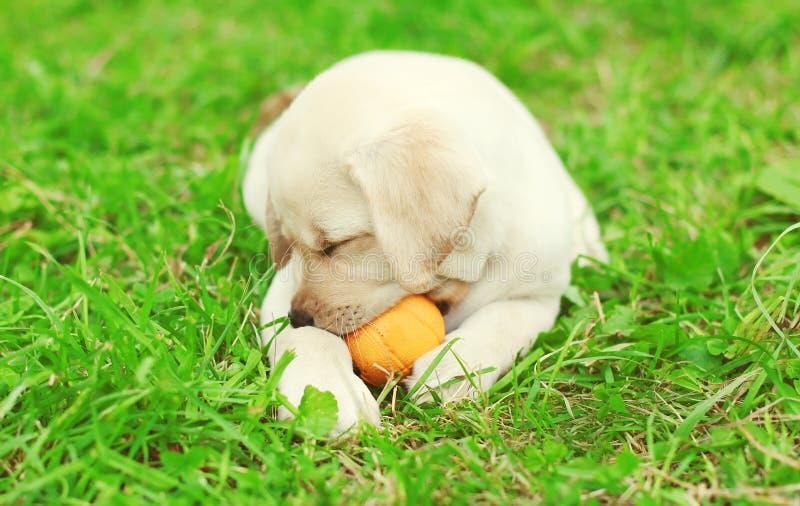 Śliczny psi szczeniaka Labrador Retriever lying on the beach bawić się z gumową piłką obraz royalty free