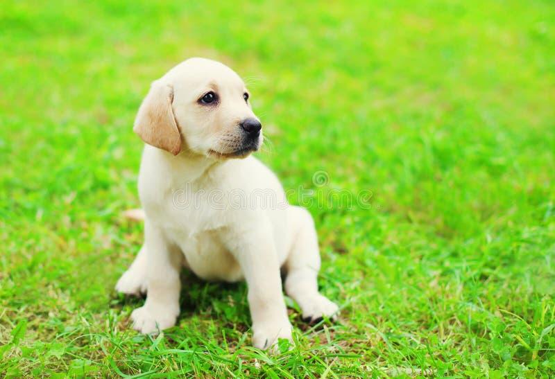 Śliczny psi szczeniaka Labrador Retriever obsiadanie na zielonej trawie fotografia stock