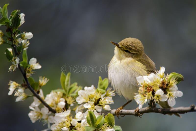 Śliczny ptasi obsiadanie na kwitnie gałąź zdjęcie stock