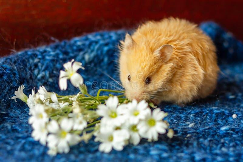 Śliczny puszysty chomik z kwiatami na błękitnym tle fotografia stock