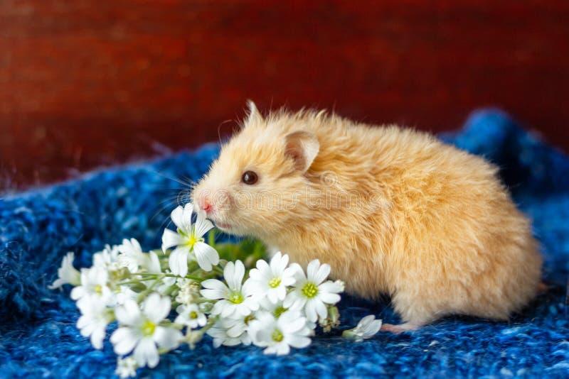 Śliczny puszysty chomik z kwiatami na błękitnym tle zdjęcia stock