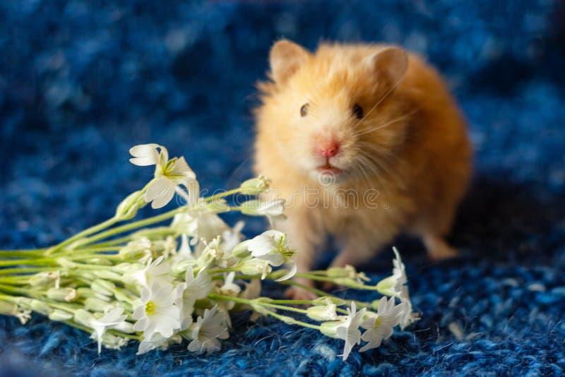 Śliczny puszysty chomik z kwiatami na błękitnym tle obrazy royalty free