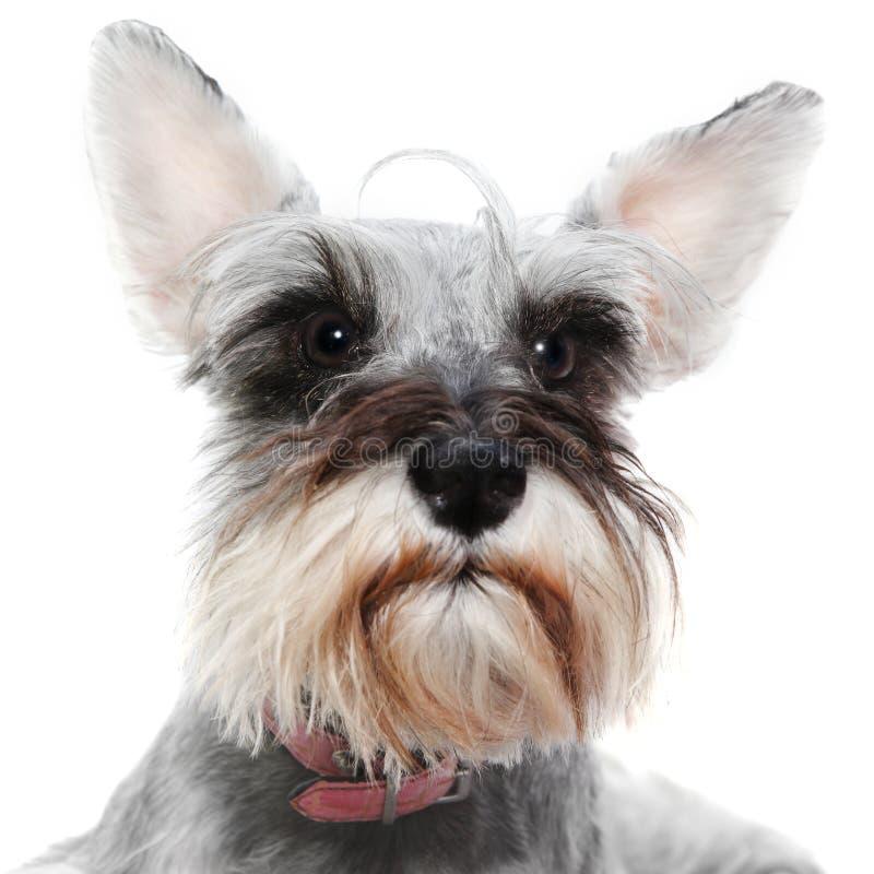 Raźny pies z dużymi ucho obrazy royalty free