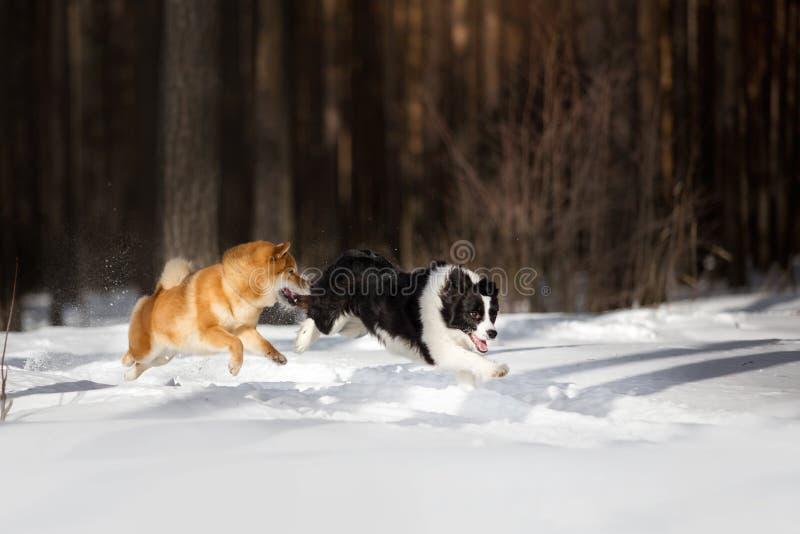 Śliczny Shiba inu pies i Border collie bawić się na śnieżnym togever Drzewa na tle obraz royalty free