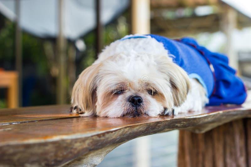 Śliczny Shih tzu psa dosypianie fotografia stock