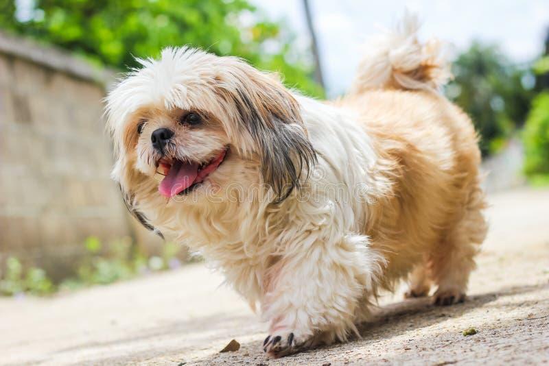 Śliczny Shih tzu psa odprowadzenie obrazy stock