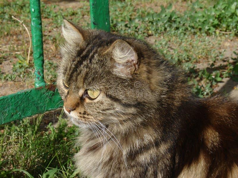 Śliczny siberian kot zdjęcia royalty free