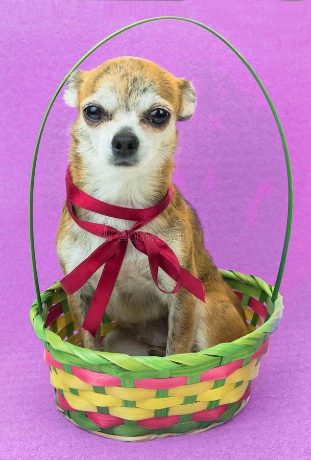 Śliczny smutny pies siedzi w barwionym koszu i Karłowaty chihuahua pies z czerwonym łękiem na lilym tle obraz stock