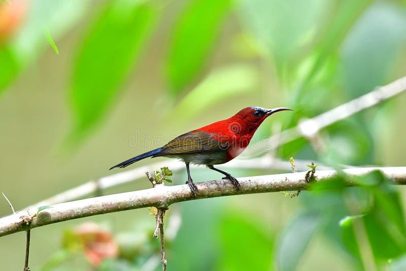 Śliczny Sunbird zdjęcia royalty free