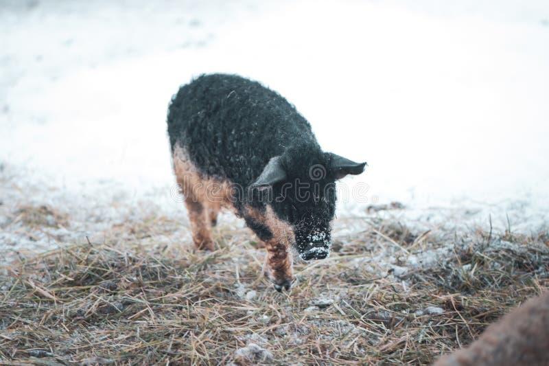 Śliczny Sus scrofa domesticus, Czarna Mangalica świnia zdjęcie royalty free
