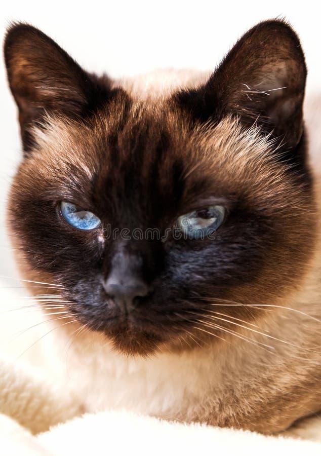 Śliczny Syjamski kot patrzeje kamerę zdjęcie royalty free
