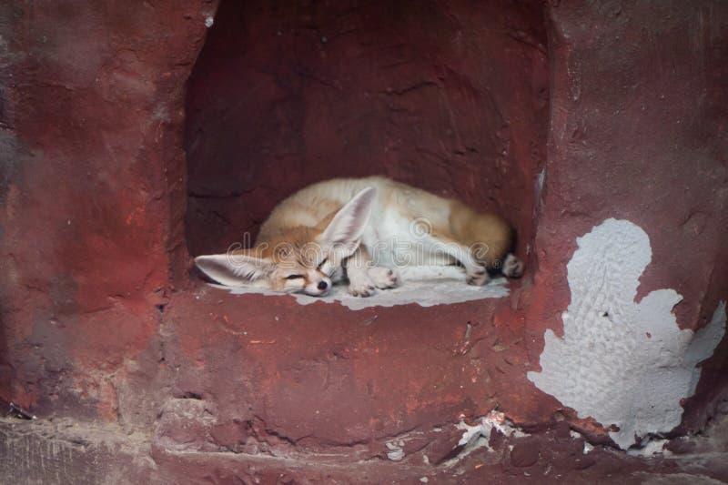 Śliczny Sypialny fenka lisa Vulpes zerda zdjęcie stock