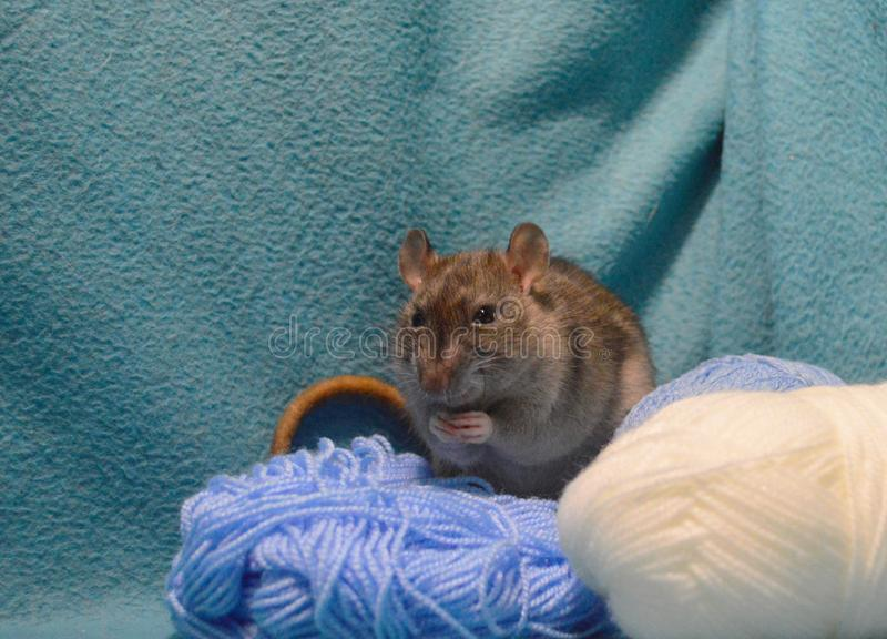 Śliczny szary szczur z skeins dziewiarska wełna na błękitnym tle zdjęcia stock