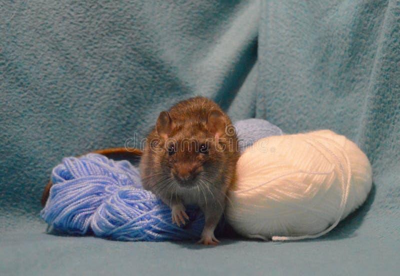 Śliczny szary szczur z skeins dziewiarska wełna na błękitnym tle obrazy stock