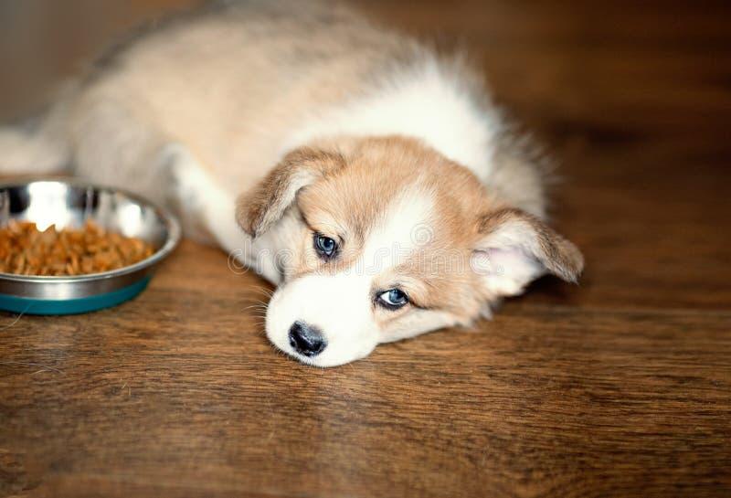 Śliczny szczeniak przejada się psiego jedzenie i kłaść patrzejący kamerę suchy obrazy royalty free