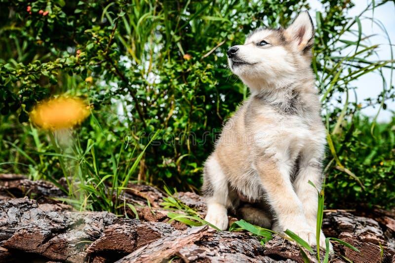 Śliczny szczeniaka alaskiego malamute bieg na trawa ogródzie fotografia royalty free