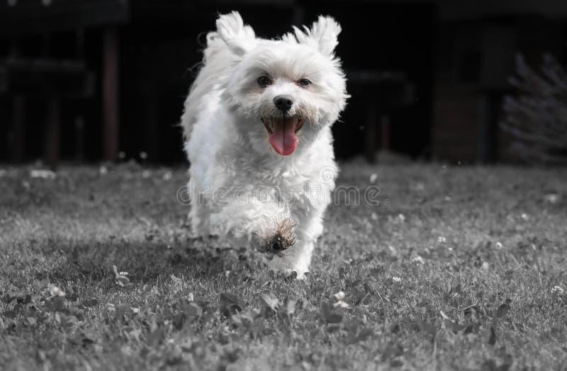 Śliczny szczeniaka maltese psa bieg w kierunku kamery ma zabawę fotografia stock