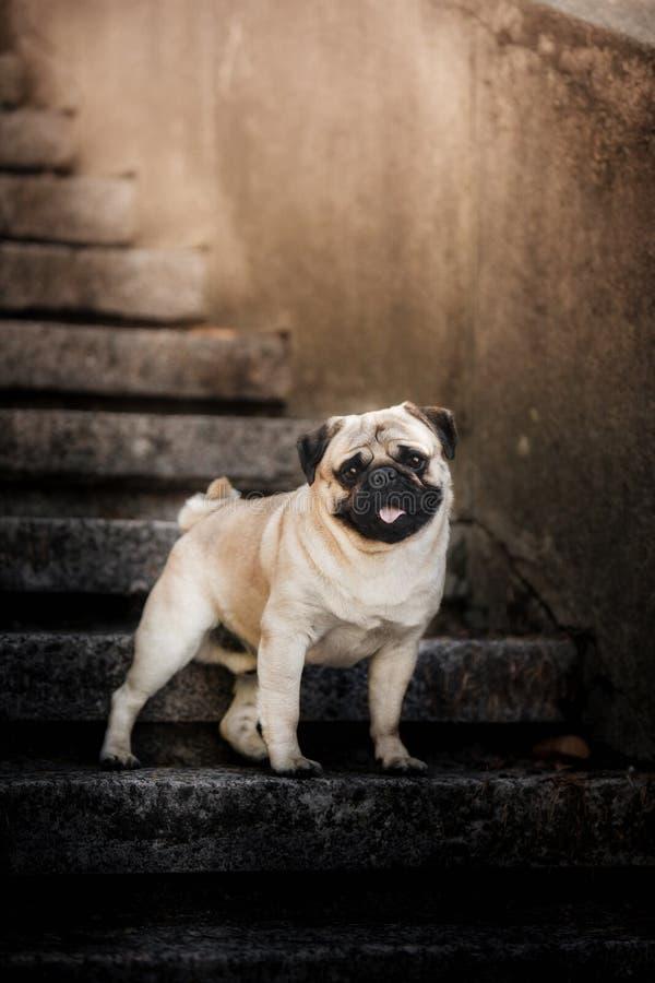 Śliczny szczeniaka mops na miasto schodkach fotografia royalty free