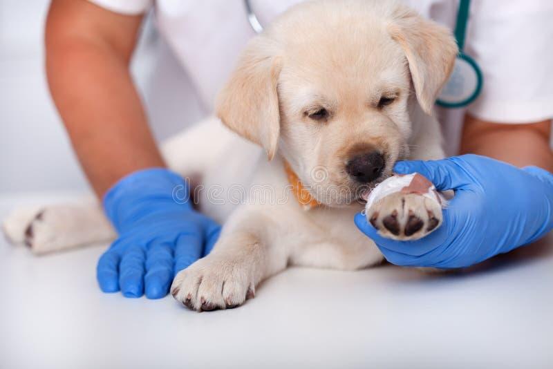 Śliczny szczeniaka pies liże bandaż na swój łapie obraz stock