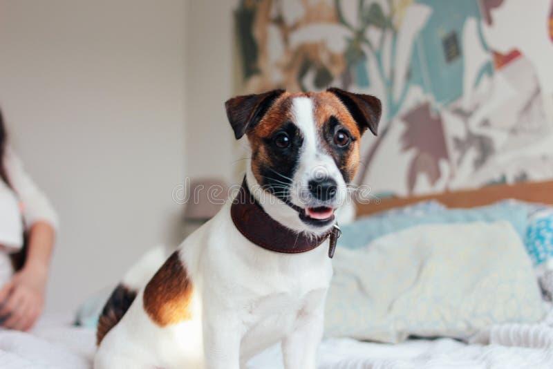 Śliczny szczeniaka psa Jack Russell terier patrzeje kamerę w sypialni, rodzina na tle fotografia stock
