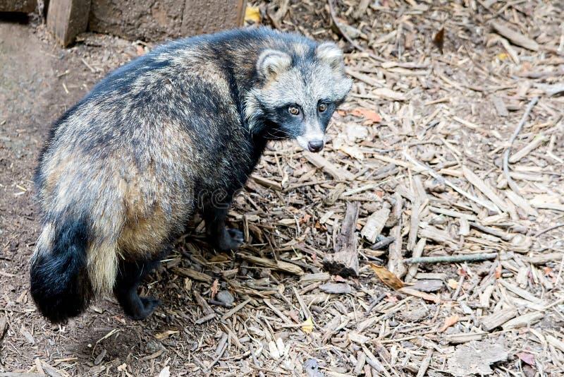Śliczny szopa pies na ziemi przy zoo obraz stock