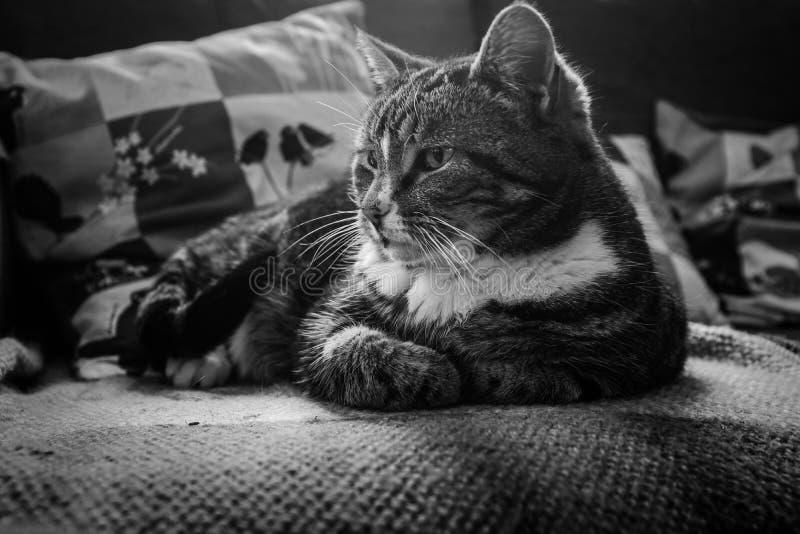 Śliczny tabby kot strzelał w czarny i biały relaksować na kanapie obrazy stock