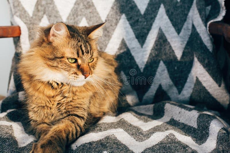 ?liczny tabby kota obsiadanie w eleganckim krze?le w pogodnym pokoju Maine coon relaksuje w ?wietle s?onecznym z zielonymi oczami obraz stock