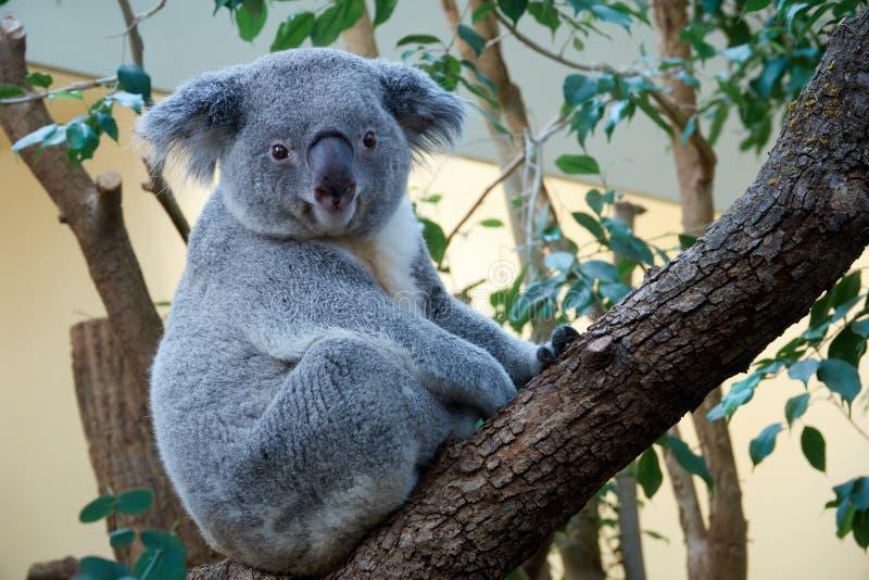 Śliczny torbacza niedźwiedź koali obsiadanie na drzewie fotografia royalty free
